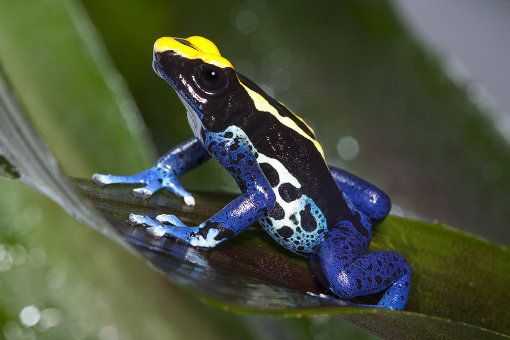 COLORFUL CLIMBERS The dyeing poison frog gets its name from an old legend stating that mixtures used with part of its skin could change the color of parrot feathers. This has never been observed, but the name lives on.