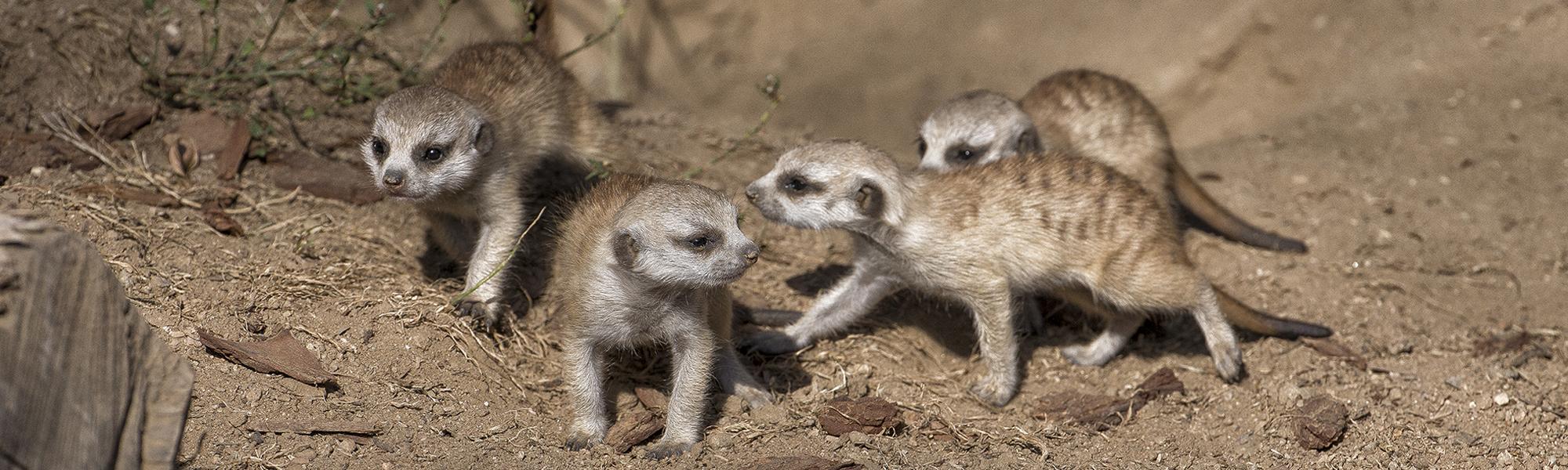 Meerkat11