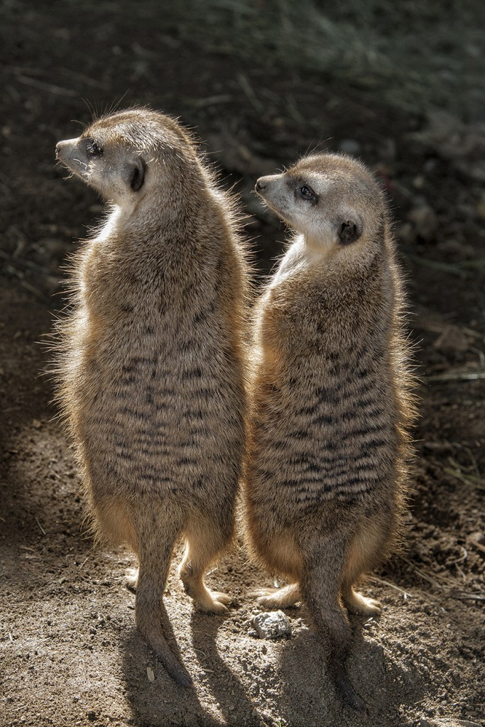 LIKE A KICKSTAND To get a better view of the surroundings, meerkats stand tall, using their sturdy tail to help them stay upright.