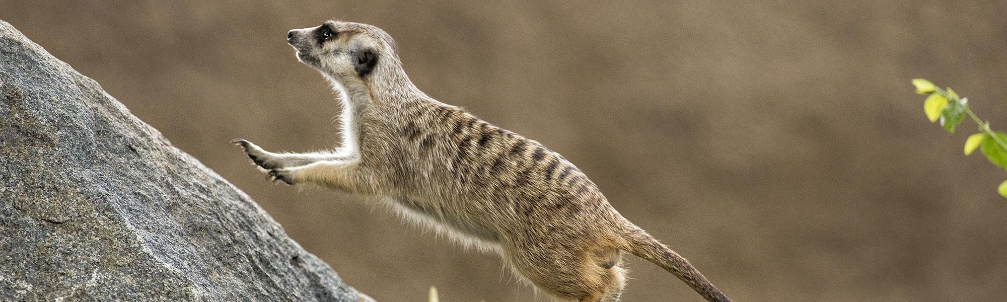 Meerkat3b