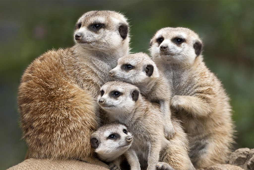 UNITED FOR THE FUTURE Alert to their surroundings, meerkats scramble into a huddle when alerted by the chirp of the sentry.