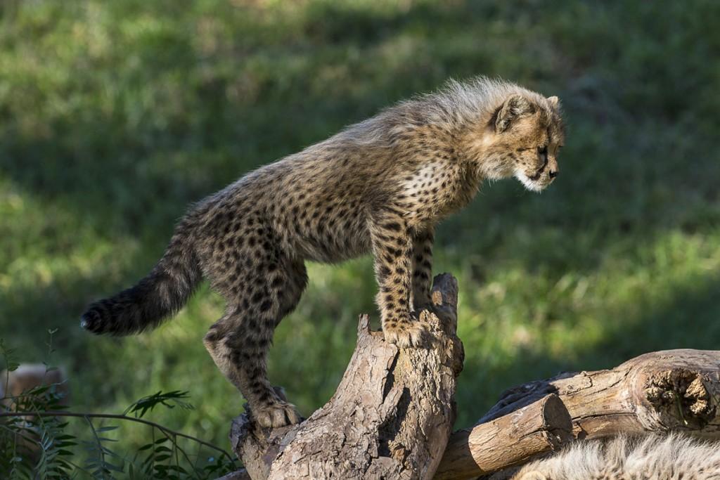 Courageous cub