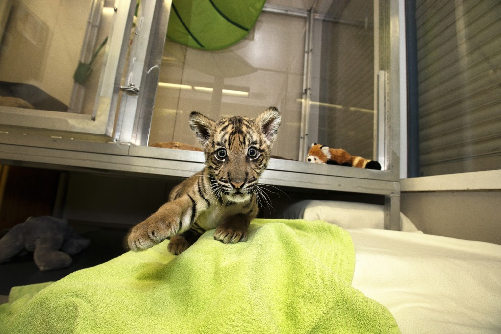 BATTING PRACTICE To a tiger cub, everything is a potential plaything–even a photographer's camera!