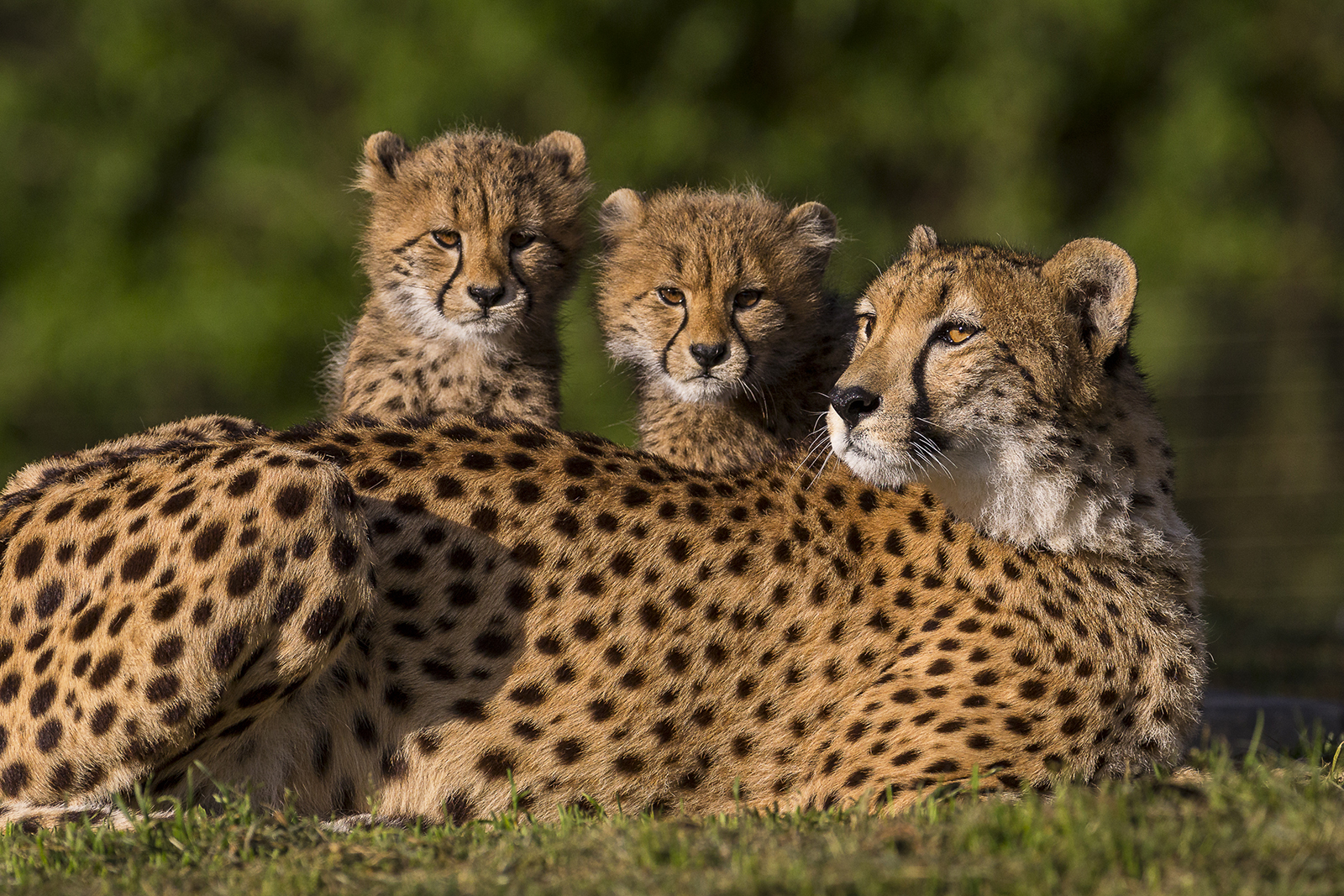 Bedrooms 4 Kids Six Cheetah Cubs Spotted At The Safari Park Zoonooz