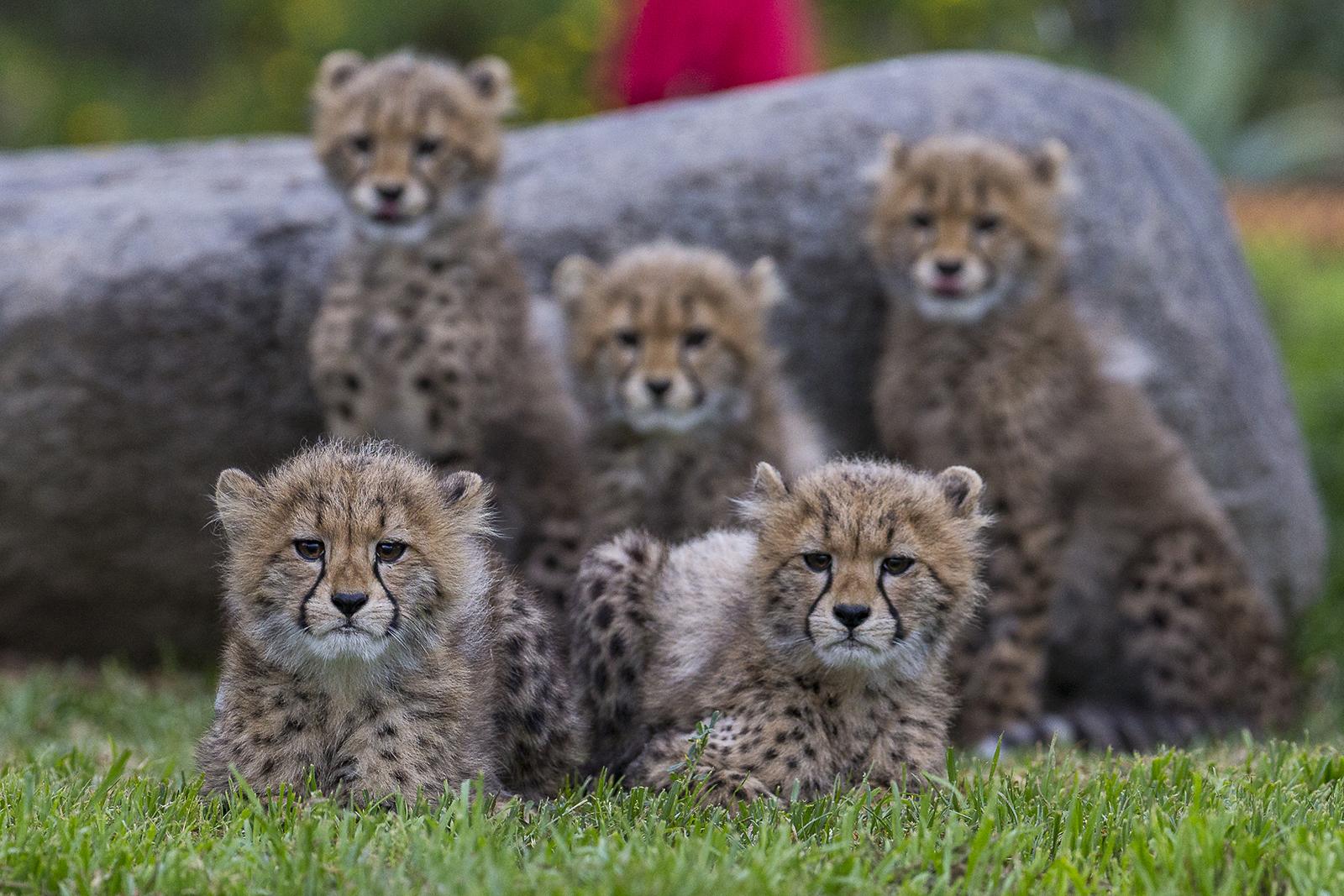 Six Cheetah Cubs Spotted At The Safari Park Zoonooz