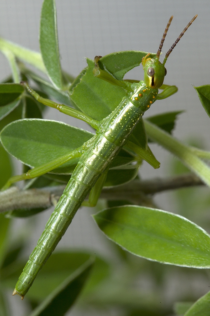 A critically endangered Lord Howe Island stick insect—or tree lobster—that has completed its first molt. The nymph part of a captive breeding program at the Zoo and its oldest nymphs are starting to complete their first instar, the growth period that occurs between molts. Molting is accomplished by shedding their exoskeleton—the protective covering around their bodies. The Zoo's entomology department is caring for the first 73 nymphs that have hatched from 300 eggs the Zoo received on January 29, 2016.