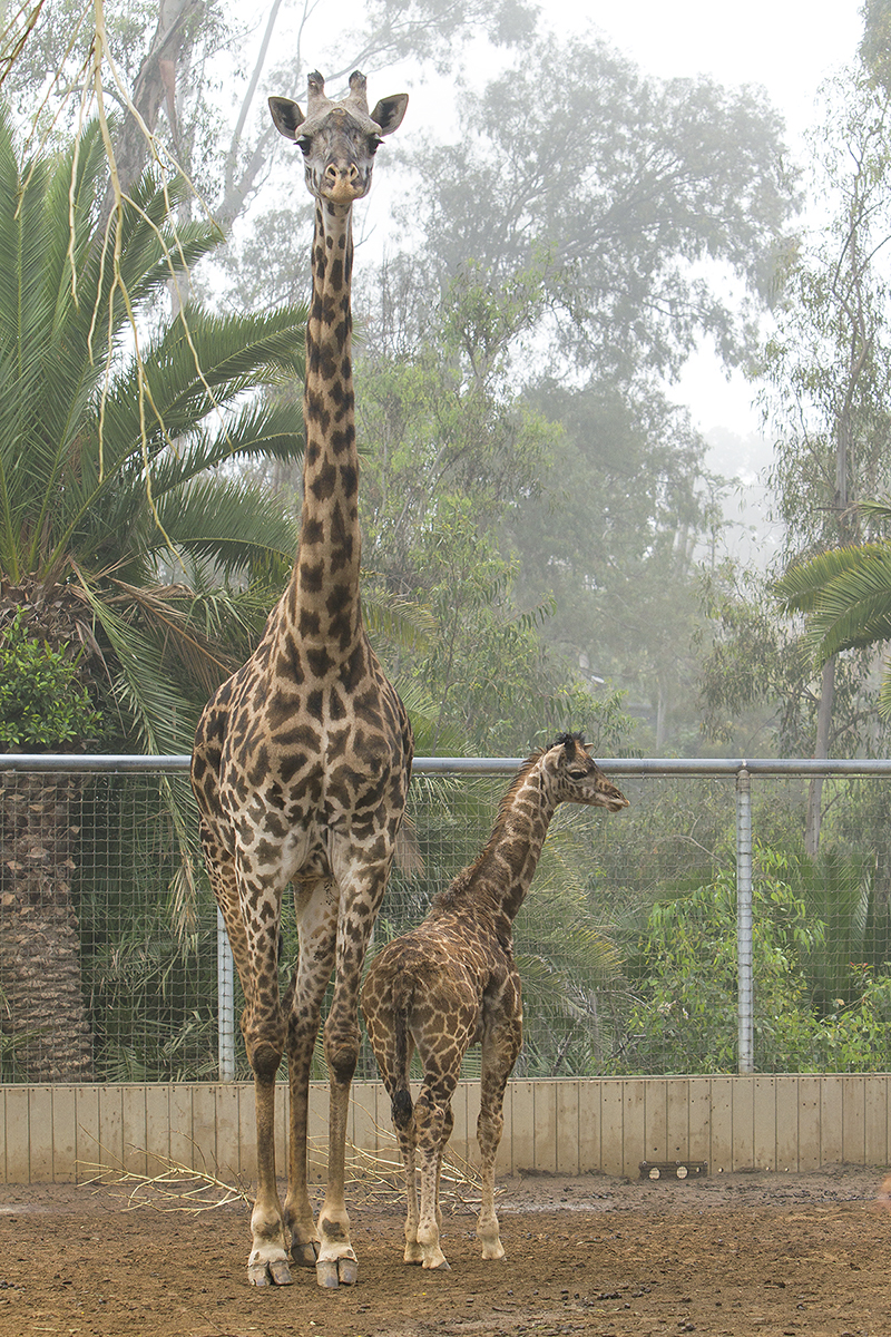 The Smallest Giraffe Born at the San Diego Zoo Is Reaching New Heights