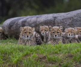 Six Sibling Cheetah Cubs