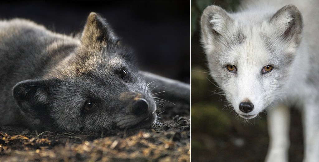 "SHOWING THEIR COLORS The darker coat of the blue phase Arctic fox (pictured above, left) is good camouflage for the animal's coastal environment, while the white ""polar phase"" fox (above, right) blends in to its snowy habitat."