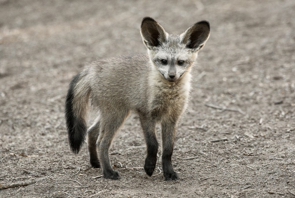 FAMILY AFFAIR In a bat-eared fox group, it's all for one and one for all—especially when taking care of the youngest members.
