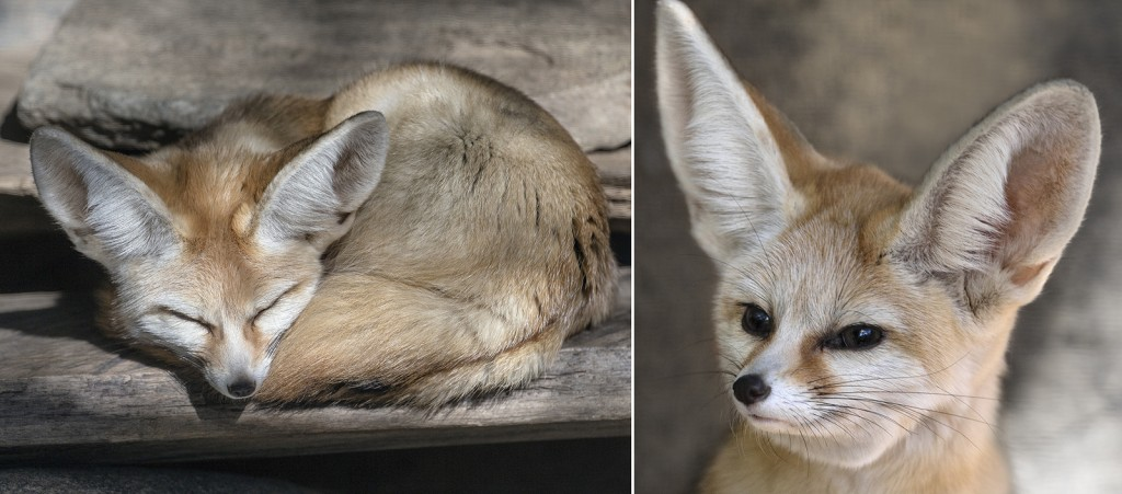 TUNED IN A fennec fox's ears can be half the length of its body and can pick up the sounds of prey moving around underground.