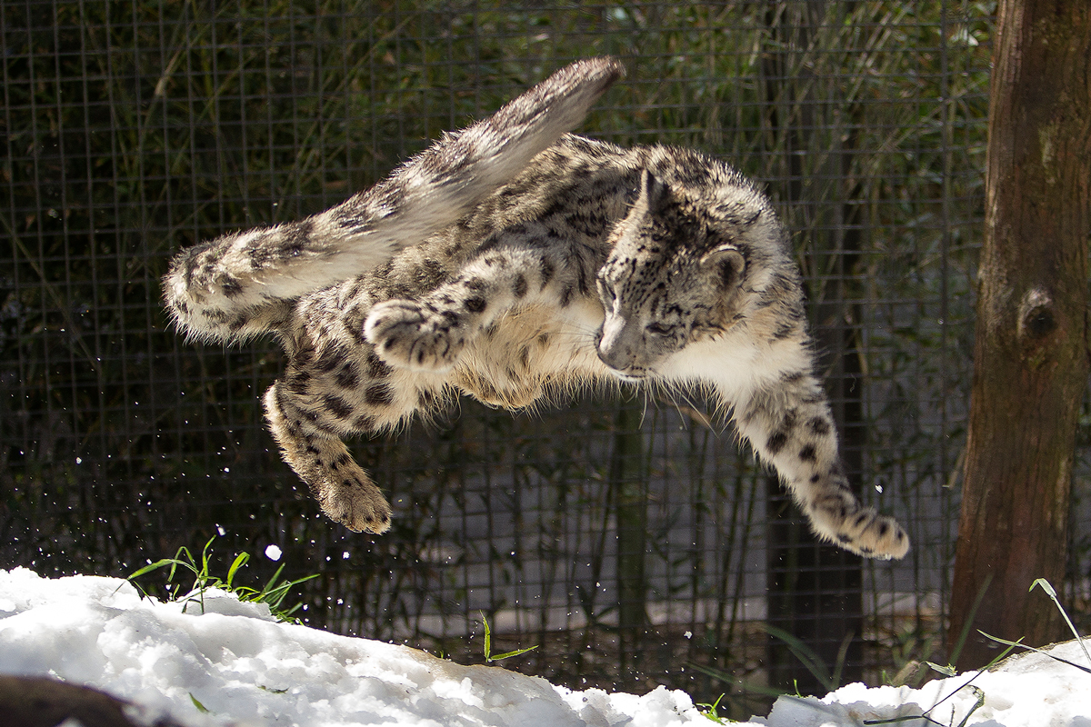 Sunny Spring Day Brings Cool Snow to San Diego Zoo Snow Leopards