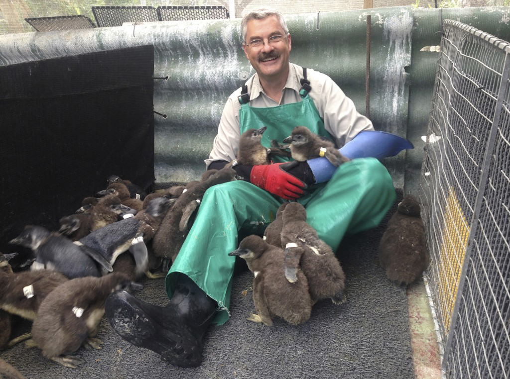 HELPING THE NEXT GENERATION San Diego Zoo Bird Department animal care manager Joop Kuhn spent two weeks in South Africa in 2015, working with SANCCOB's Chick Bolstering Project to help care for injured and abandoned young African penguins that will be released back into the wild.