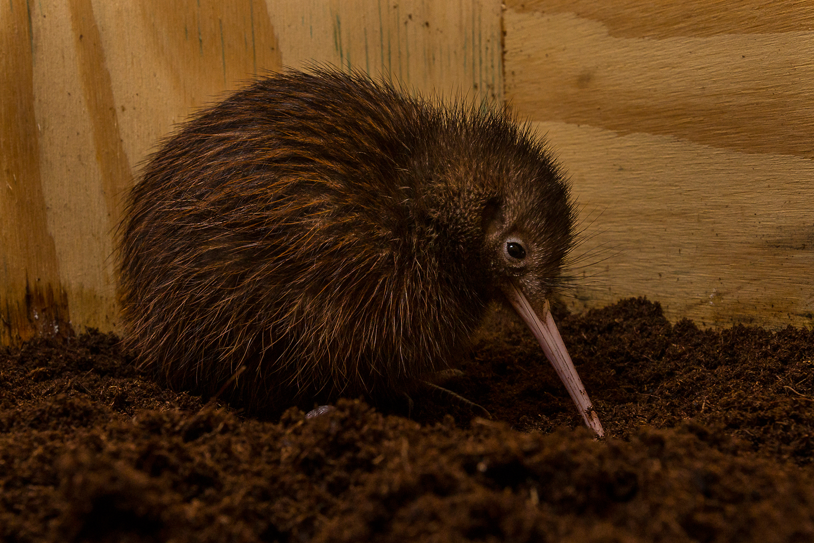 Brown Kiwi Chick Thriving at San Diego Zoo's Avian Propagation Center