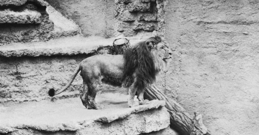 Centennial Throwback: Prince the Lion