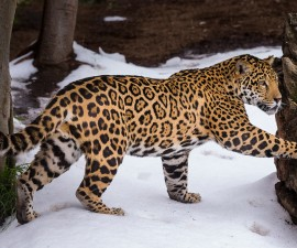 Jaguar Cub and Mom Play in Snow for the First Time at the San Diego Zoo