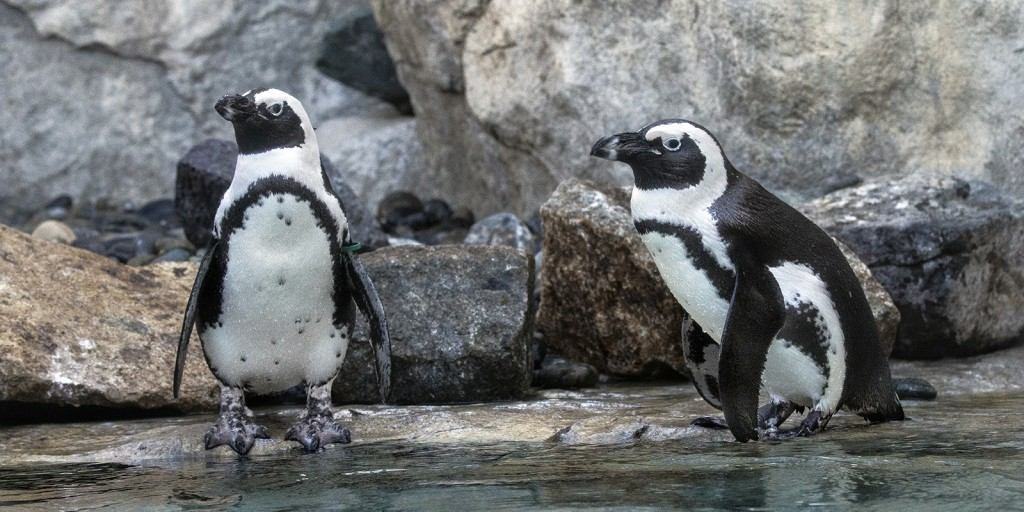 BLACK TIE AND TAILS While they may look like they are wearing matching tuxedos, each individual African penguin—including Vi and D.G., shown here—has its own distinct pattern of stripes and spots that sets it apart from all others.