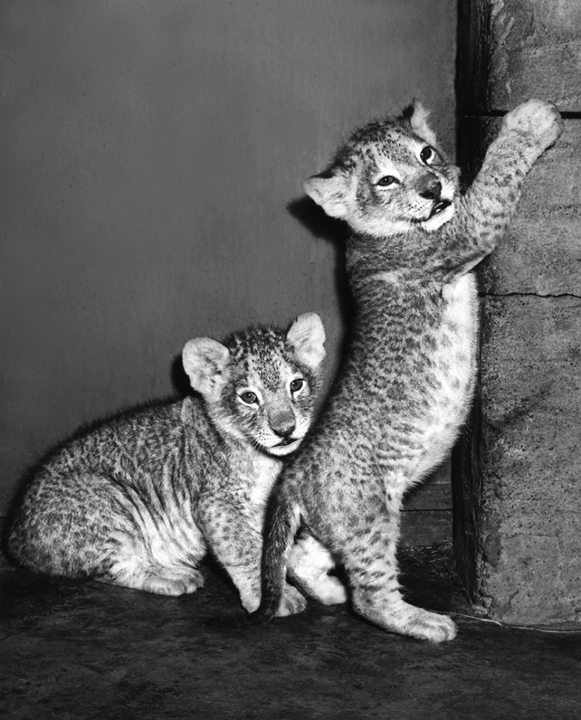 HEADER HERE The Zoo welcomed the birth of its first Masai lion cubs in 1953.