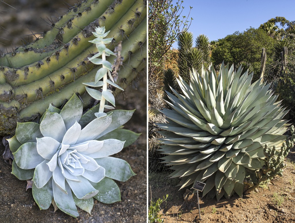 SOAKING UP THE SUN (Left) Nestled at the base of a cactus, a Dudleya sends up a stalk. (Right) Agave sebastian a is a Baja native that's adapted for a hot, dry summer.