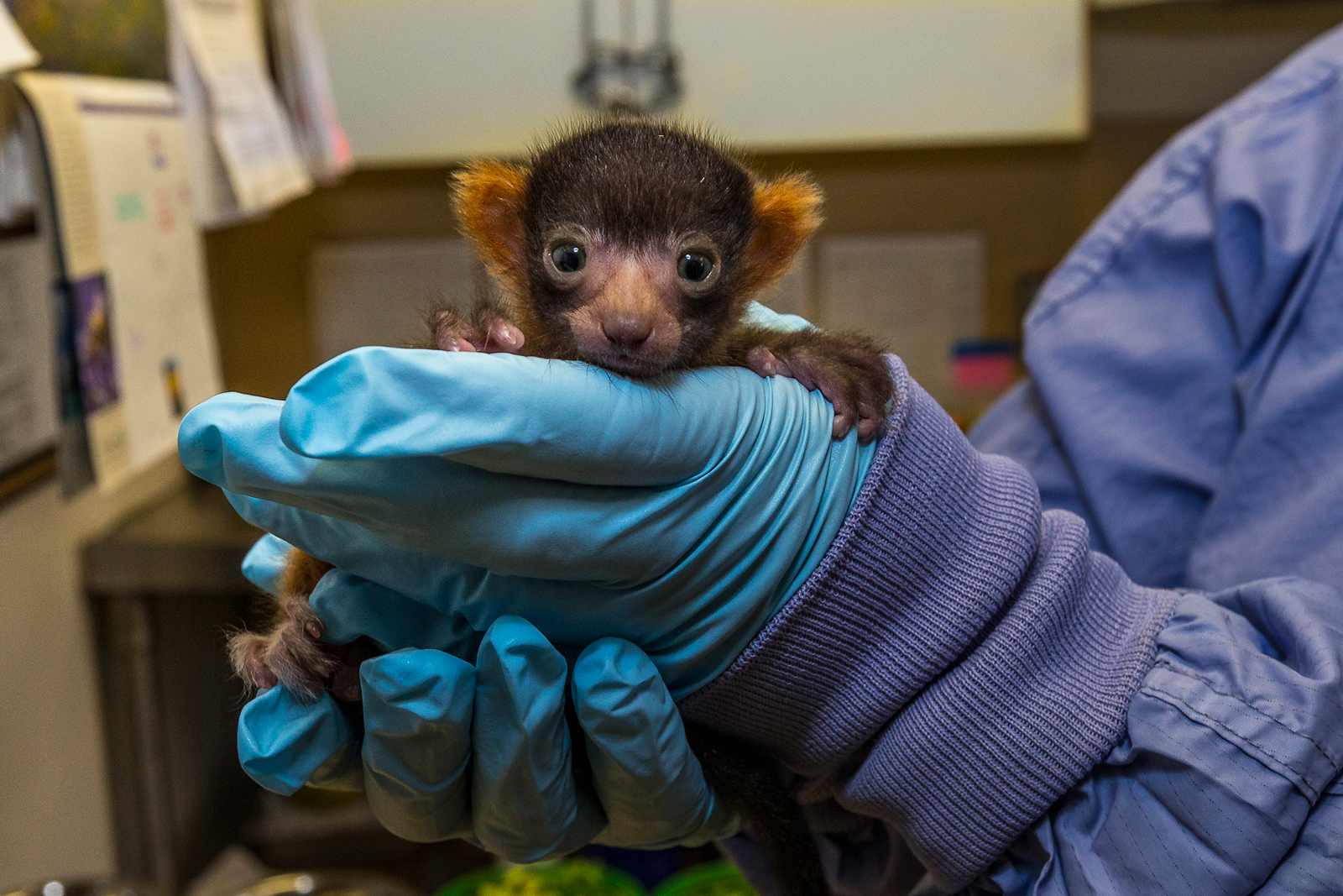 Rare Red Ruffed Lemur Born at the San Diego Zoo