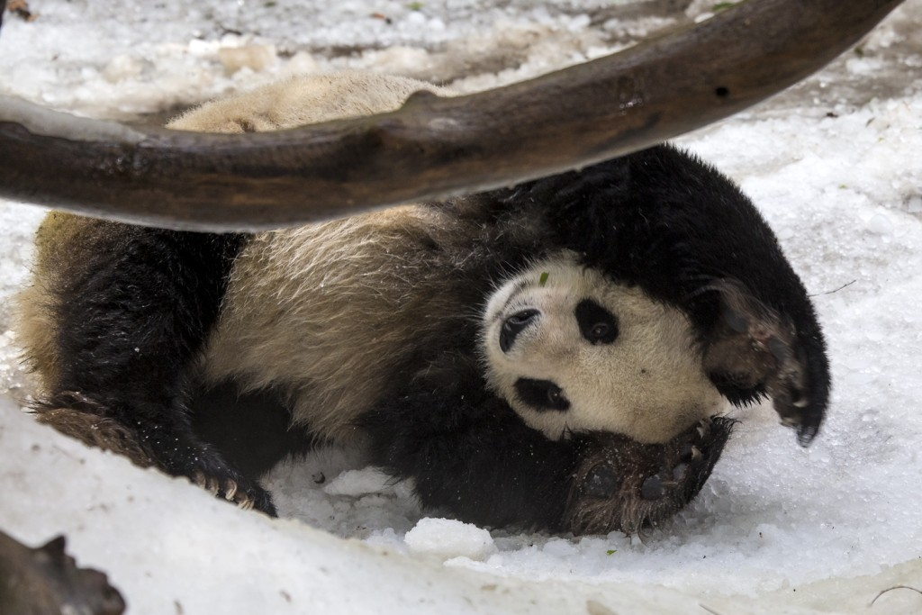 "Gao Gao greatly enjoyed a recent ""snow day."""