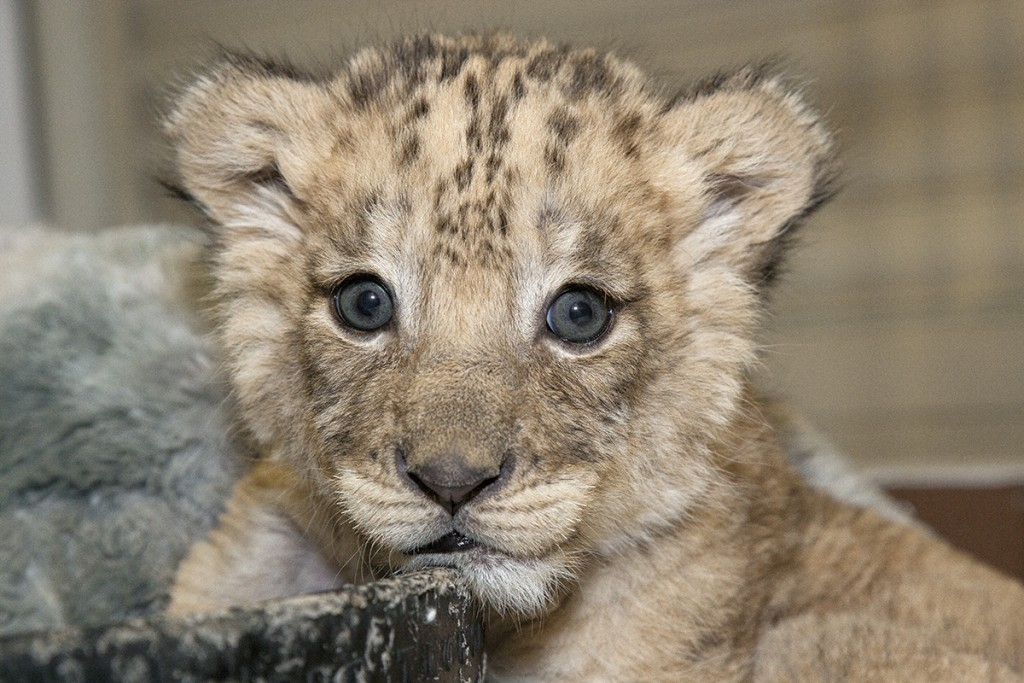 HEADER HERE Cubs have spotted coats until three months of age.