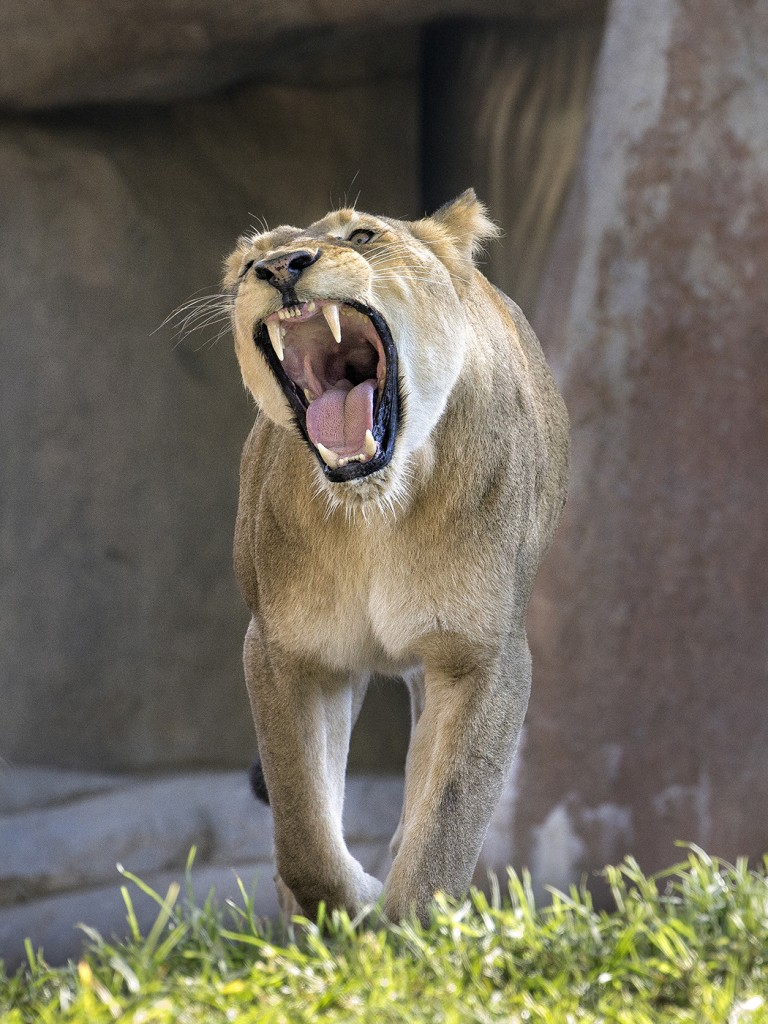THEY CAN HEAR YOU NOW Under the right conditions, a lion's roar can be heard three miles away.
