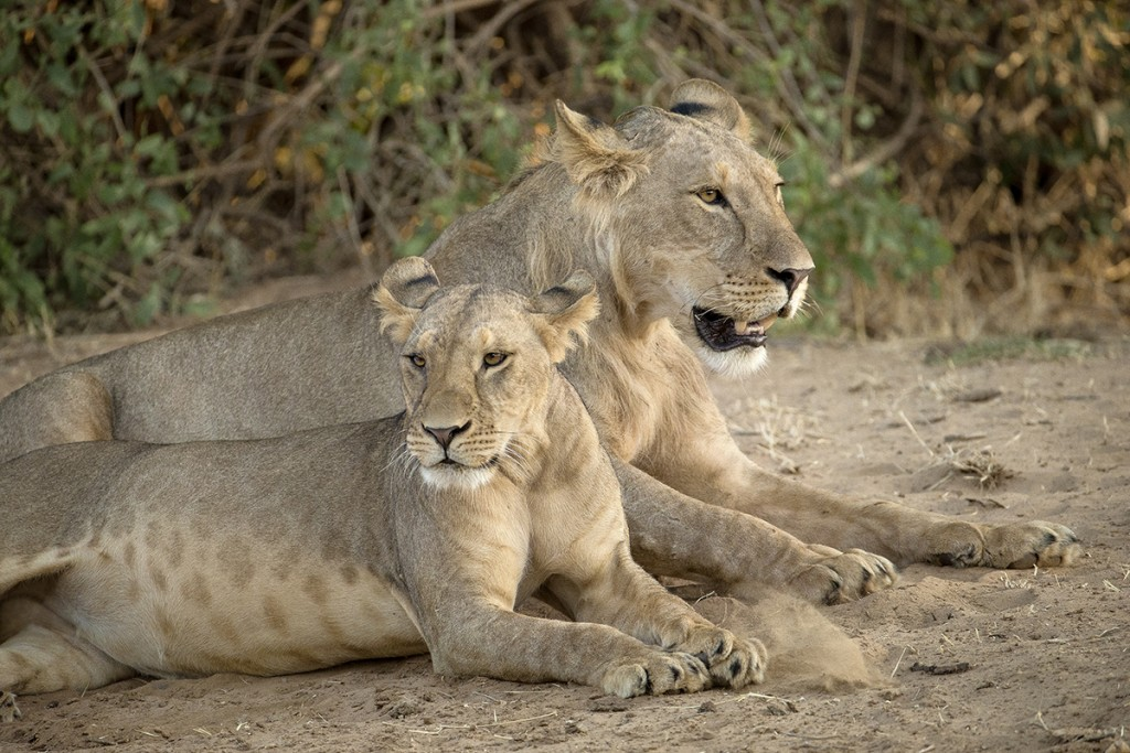 "FAMILY AFFAIR Lion pride members ""divide and conquer"" the hunting, protection, and cub-raising chores."