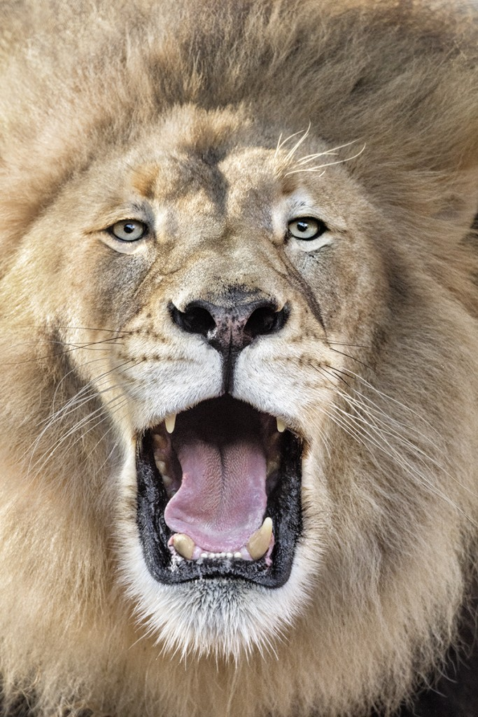 HEADER HERE Excellent vision and 2.5-inch-long canine teeth contribute to the lion's renowned hunting ability.