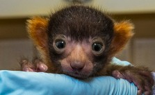 Rare Red Ruffed Lemur Born at the Zoo