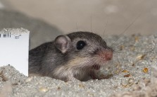 Endangered Pacific Pocket Mouse Relocated To Historic Range