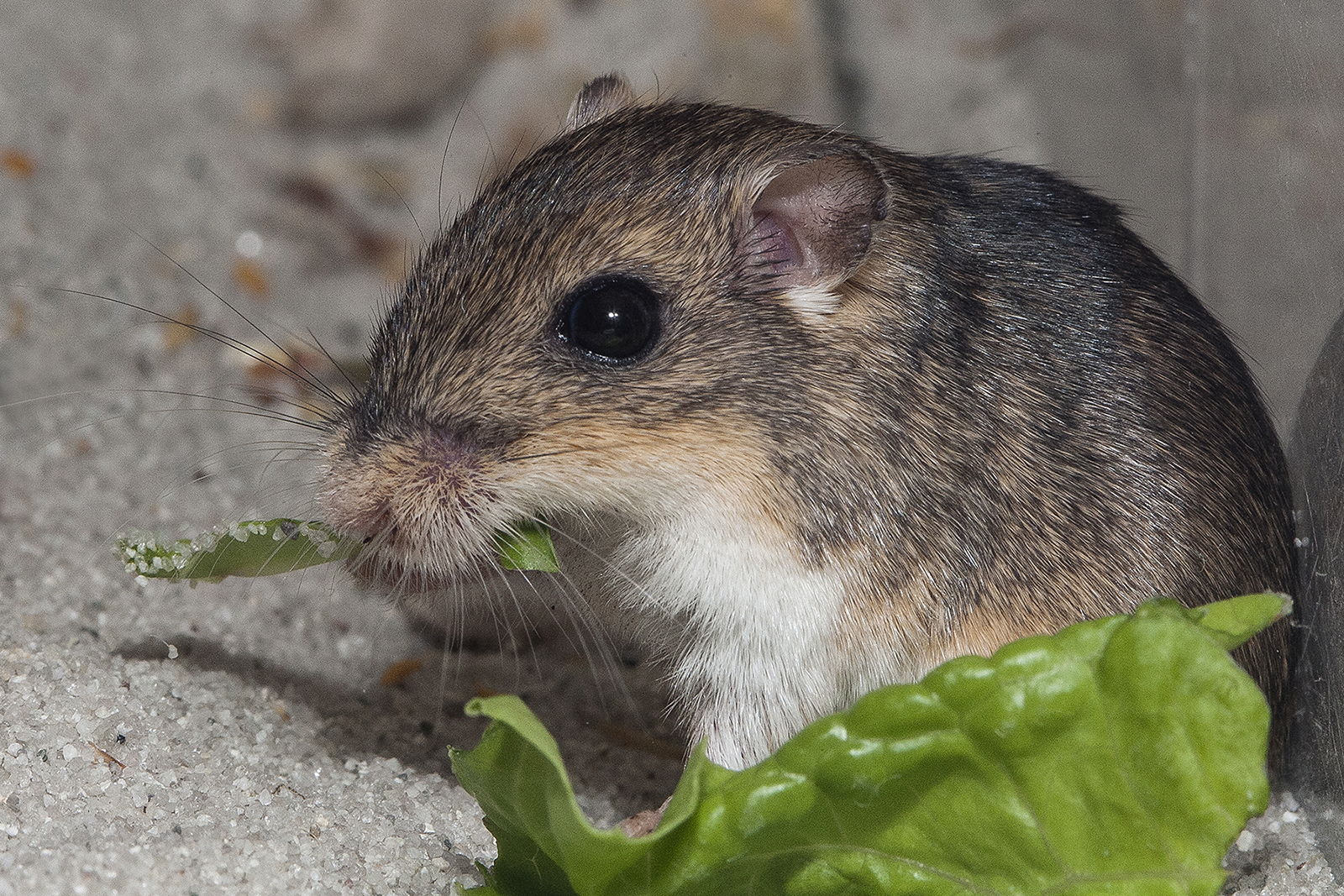 Pacific Pocket Mouse eating lettuce