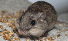 Most Endangered Pocket Mouse in North America Reintroduced
