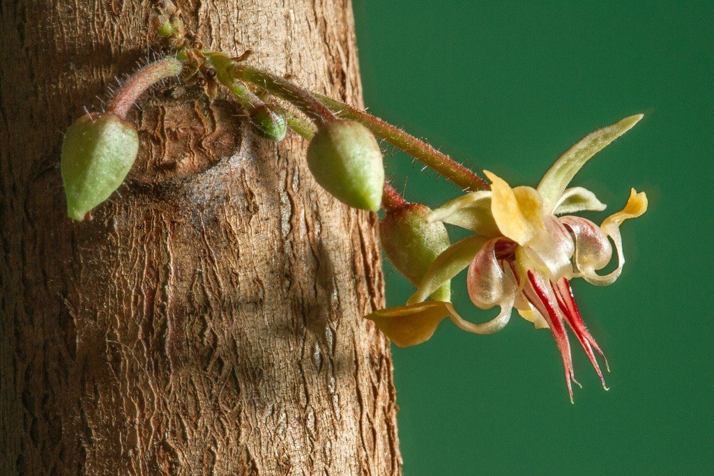 Blossom of Theobroma cacao. After pollination, the fruit that sets is harvested and used to make chocolate.