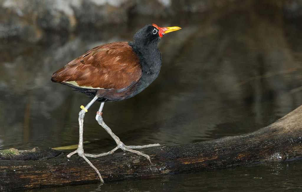 """WALKING ON WATER Jacana birds are famous for their ability to """"walk on water,"""" dashing over lily pads and other vegetation to cross a waterway. Males make dandy dads, too!"""