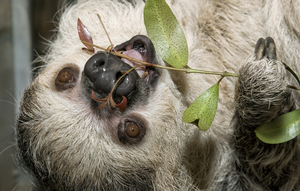 FAMILY RESEMBLANCE Flattened faces, rounded heads, and small ears covered in fur are among sloths' shared characteristics.