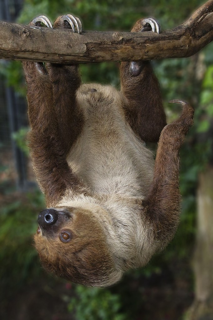 "SAFETY ""CLAWS"" Sloths' claws curve around branches like safety hooks, allowing them to safely hang (and sleep) upside-down."