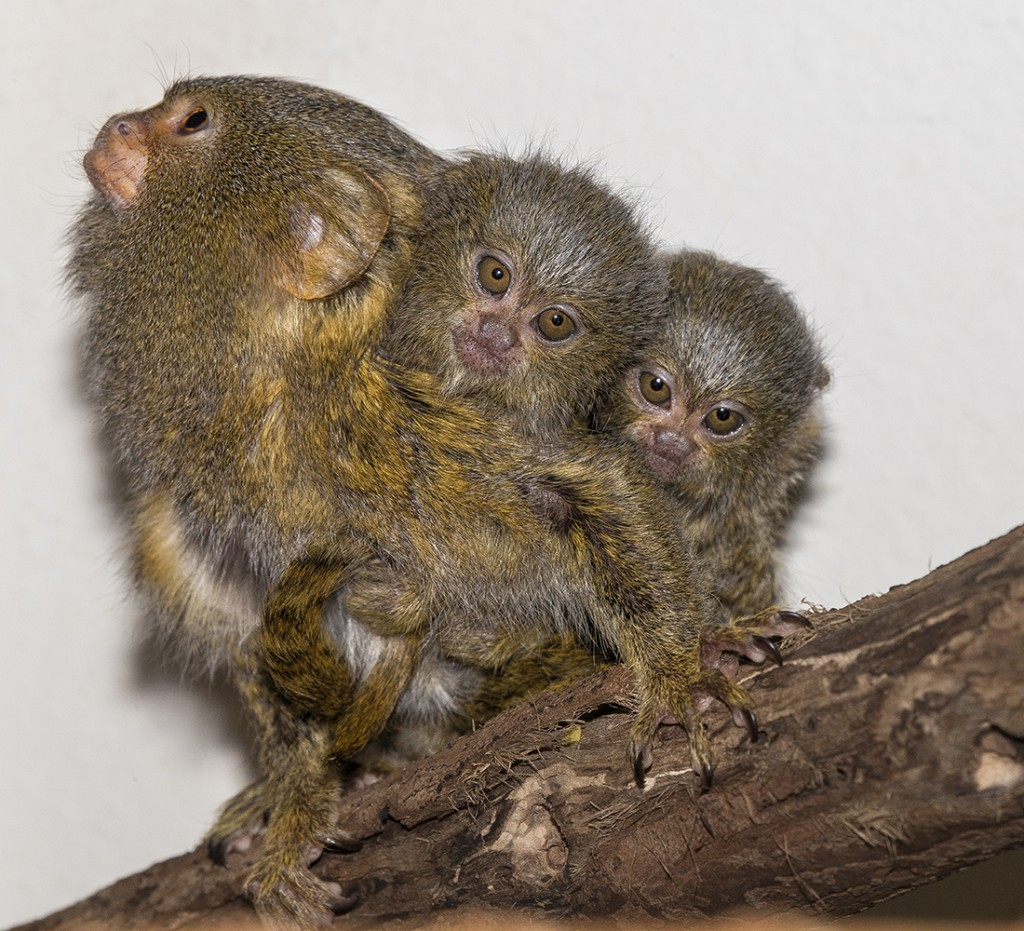 TWINSIES!  Pygmy marmosets tend to have twins, so it's good thing Dad steps in to tote the tykes about, only handing them over to Mom for feeding.