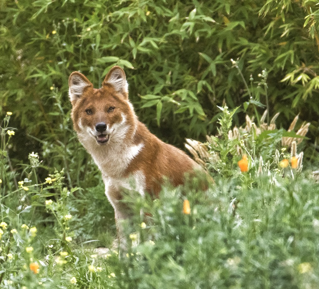 ON GUARD Dhole Dads are highly committed to the family unit, guarding the den while Mom has the puppies and sharing his food with them once they are old enough to eat meat.