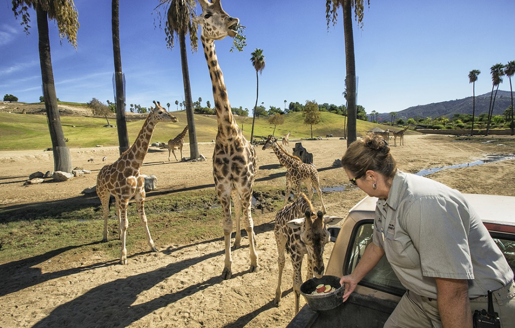 TALL ORDER Congo the giraffe is enjoying some special treats. Keepers go to great lengths to nurture trusting relationships with the animals, which comes in handy if they need medical attention.
