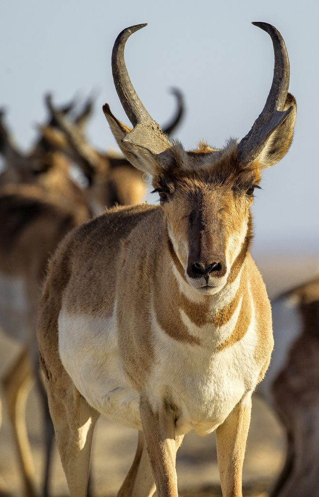 HORN SECTION Peninsular pronghorn are the only animal with branched horns (not antlers).