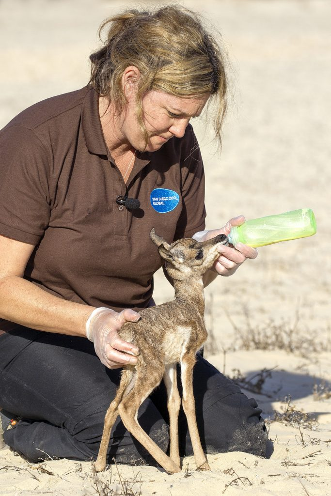 BOTTLE SERVICE Lissa McCaffree, a lead keeper at the Safari Park, bottle feeds one of the fawns, improving both its chance of survival and tractability.