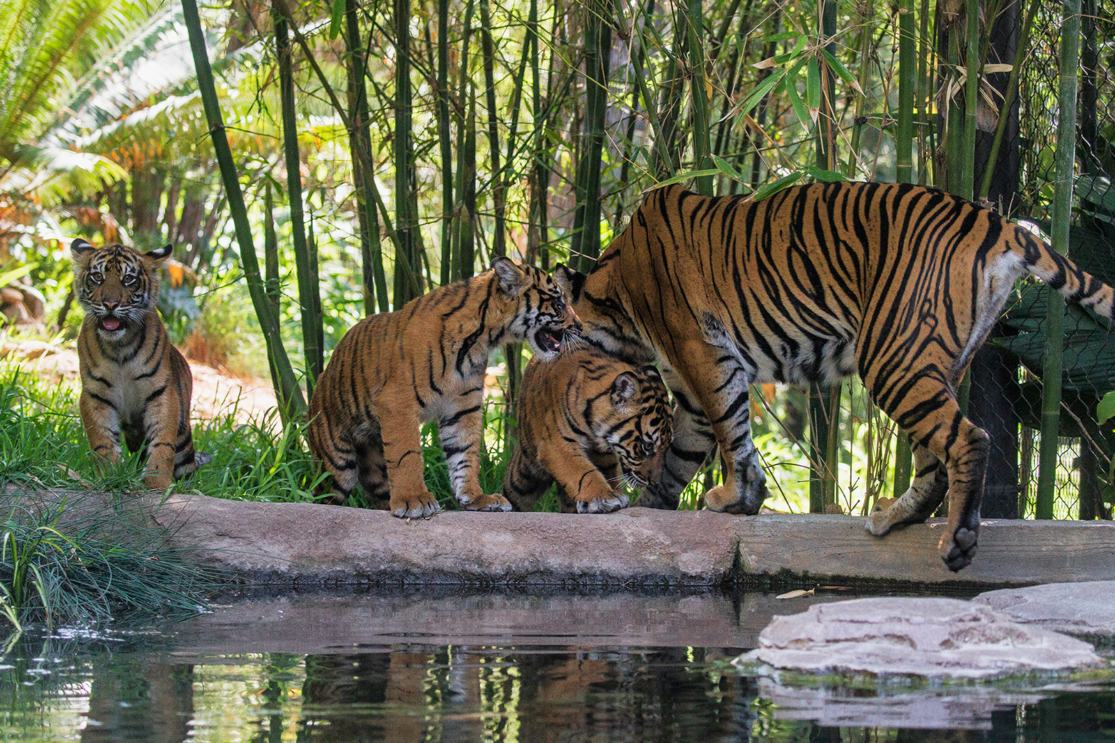 Tiger Cubs Explore New Habitat at the San Diego Zoo Safari Park