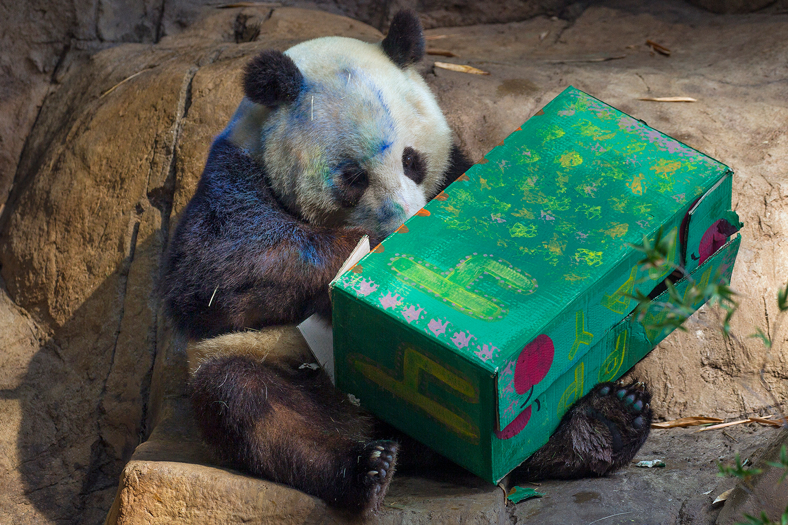 San Diego Zoo Celebrates Giant Panda Xiao Liwu's Fourth Birthday