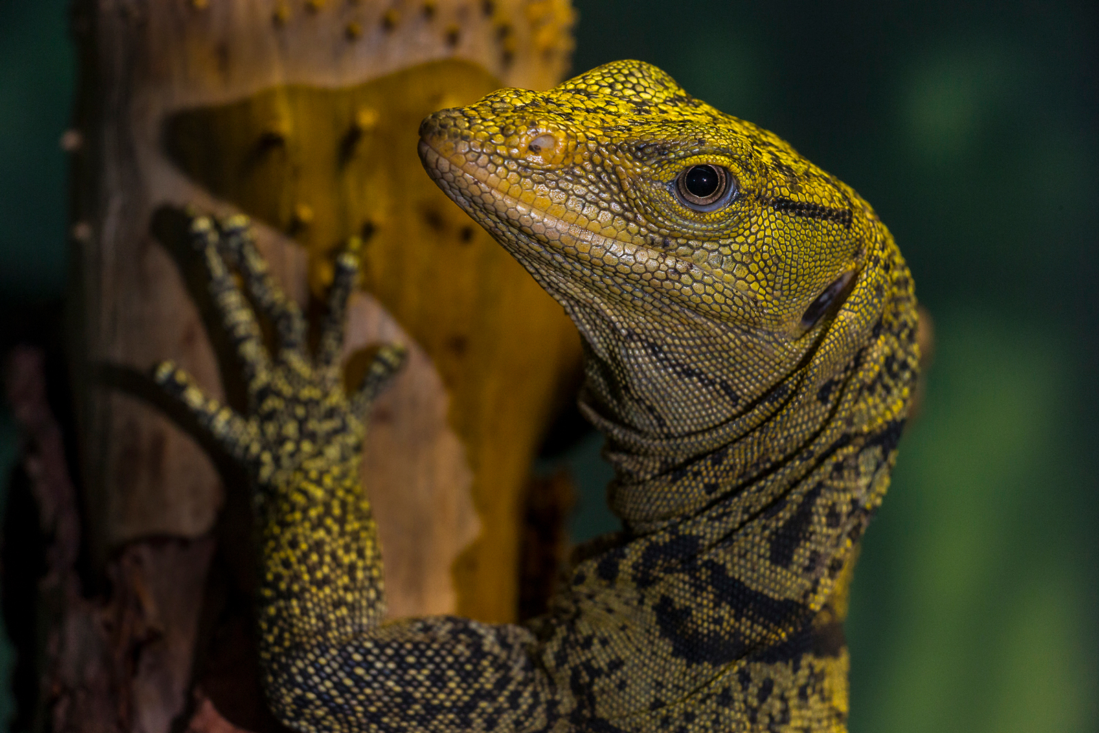 Rare Monitor Lizard Now on Exhibit at the San Diego Zoo
