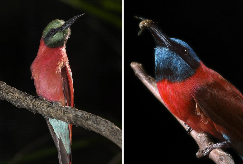INNOVATIVE HUNTERS Native to central and southern Africa, carmine bee-eaters Merops nubicus often hunt insects from the backs of antelope, zebras, warthogs, storks, and other animals.