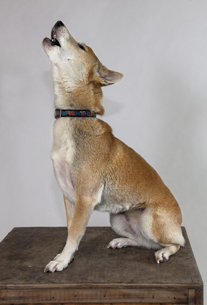 YODEL-AY-DEE-OOOO New Guinea singing dogs, like the Zoo's animal ambassador Montana, communicate with a melodious howl that sounds very much like a yodel.