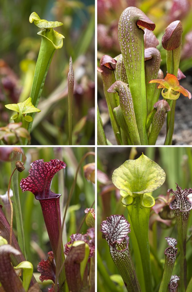 PITCHERS ARE CATCHERS Pitcher plants use a lethal combination of color, nectar, and potent elixir to attract, disable, and consume their prey.