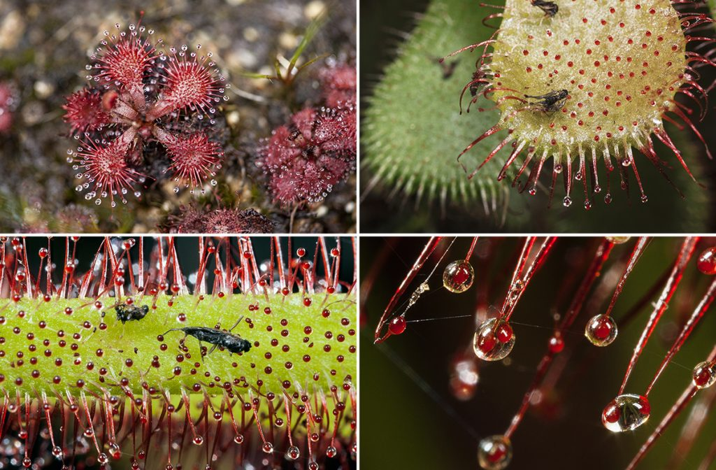 HERE COMES THE SUN(DEW) Long tentacles on a sundew's leaves are tipped with colorful nectar that also acts as a powerful glue to trap attracted insects. (CLICK TO ENLARGE)