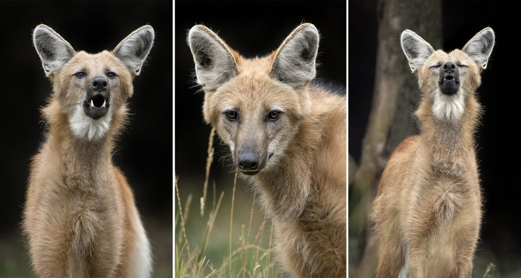 NOW HEAR THIS Maned wolves have three very different vocalizations—a high-pitched whine they often use as a greeting, a protective growl, and a deep single bark, often used at dusk.